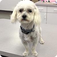 Maltese Mix Dog for adoption in oklahoma city, Oklahoma - Brad