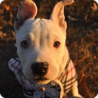 Pit Bull Terrier/Terrier (Unknown Type, Medium) Mix Puppy for adoption in Anderson, South Carolina - Lillith - deaf
