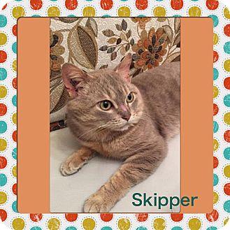 Domestic Shorthair Cat for adoption in Winnipeg, Manitoba - Skipper