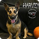Adopt A Pet :: Harvey