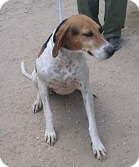 Treeing Walker Coonhound Dog for adoption in Seguin, Texas - Martina