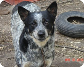 Australian Cattle Dog Dog for adoption in Remus, Michigan - Sr Holly Hobbie is Pending!