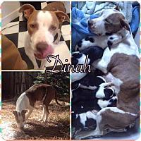 Adopt A Pet :: Dinah - Phoenix, AZ