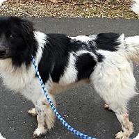 Adopt A Pet :: Beau - Columbia, MD