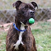 Adopt A Pet :: Tigger - Westminster, MD