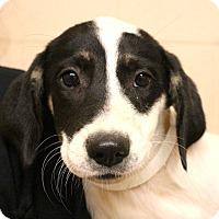 Adopt A Pet :: Sweet Tart~meet me~ - Glastonbury, CT