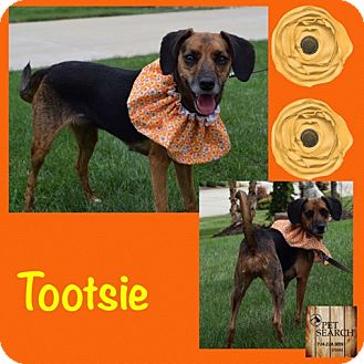 Chihuahua/Terrier (Unknown Type, Small) Mix Dog for adoption in Washington, Pennsylvania - Tootsie