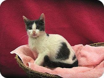 Domestic Shorthair Kitten for adoption in Redwood Falls, Minnesota - Natalie