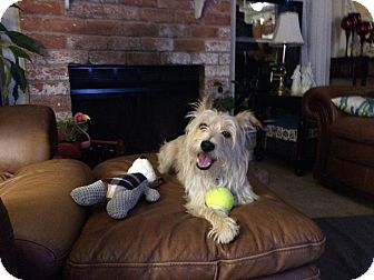 Westie, West Highland White Terrier/Silky Terrier Mix Dog for adoption in Houston, Texas - Scruffy