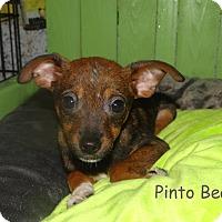 Adopt A Pet :: Pinto Bean - Newport, KY
