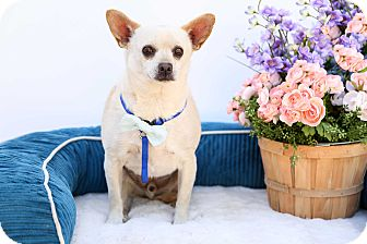 Chihuahua/Pug Mix Dog for adoption in Auburn, California - Luke