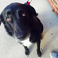 Labrador Retriever Mix Dog for adoption in chicago, Illinois - Buehrle