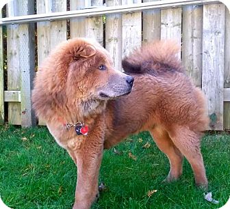 Chow Chow/Husky Mix Dog for adoption in Prescott, Ontario - Ozzie **ADOPTED**