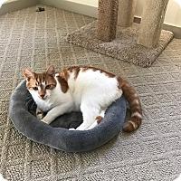 Adopt A Pet :: Butterscotch - Plainville, MA