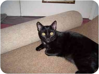 Domestic Shorthair Cat for adoption in Hesperia, California - Sammy