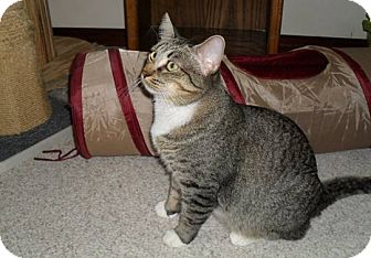 Domestic Shorthair Cat for adoption in Farminton, Arkansas - Lucky Lady