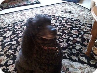 Miniature Poodle Mix Dog for adoption in Bellingham, Washington - Ronnie