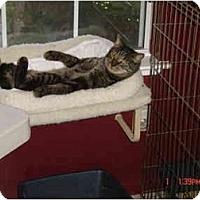 Adopt A Pet :: Bobby - Elk Grove, CA
