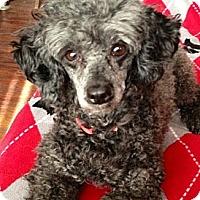 Adopt A Pet :: Fifi - Hilliard, OH