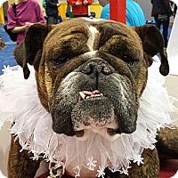 Adopt A Pet :: Coco Chanel - Chicago, IL