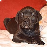 Adopt A Pet :: Henry Winkler - Marietta, GA