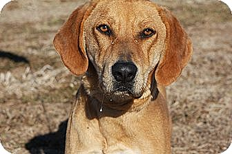 Redbone Coonhound Mix Dog for adoption in Russellville, Kentucky - Haven