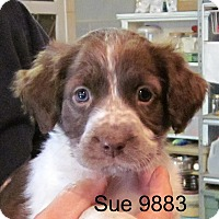 Adopt A Pet :: Sue - baltimore, MD
