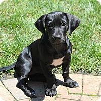 Adopt A Pet :: Brook - Richmond, VA