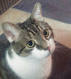 Domestic Shorthair Cat for adoption in Lenhartsville, Pennsylvania - Freddie