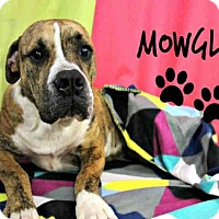 Adopt A Pet :: *MOWGLI - Sugar Land, TX