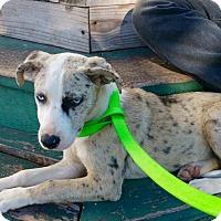 Adopt A Pet :: Ava - Aurora, CO