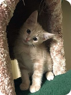 Domestic Shorthair Kitten for adoption in Knoxville, Tennessee - Google