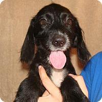 Adopt A Pet :: Vixen - Oviedo, FL