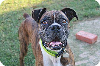 Boxer Dog for adoption in Shreveport, Louisiana - Murdock