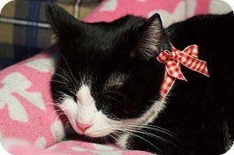 Domestic Shorthair Kitten for adoption in Columbus, Ohio - Emerald
