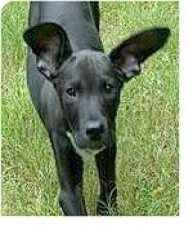 Labrador Retriever Mix Puppy for adoption in Springdale, Arkansas - Leonard