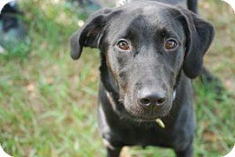 Labrador Retriever/Labrador Retriever Mix Puppy for adoption in Minneola, Florida - Elsa