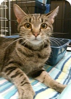 "Domestic Shorthair Cat for adoption in Yorba Linda, California - Chipmunk ""Chip"""