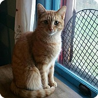 Domestic Shorthair Cat for adoption in Minneapolis, Minnesota - Cupid