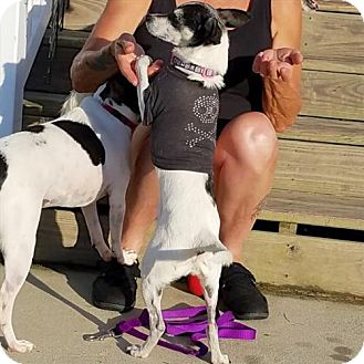 Rat Terrier Dog for adoption in Virginia Beach, Virginia - Winnie (VA)