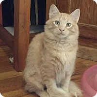 Domestic Mediumhair Kitten for adoption in Colorado Springs, Colorado - Turner
