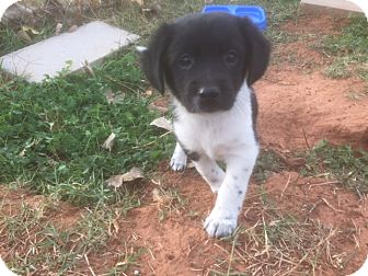 Labrador Retriever/Australian Shepherd Mix Puppy for adoption in Yukon, Oklahoma - Lisa's Squiggles