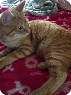 Domestic Shorthair Cat for adoption in Taylor, Michigan - Tails