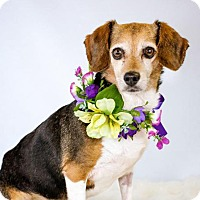 Beagle Dog for adoption in St. Louis Park, Minnesota - Saylor