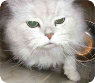 Persian Cat for adoption in Strathmore, Alberta - Max