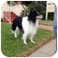 Photo 3 - Sheltie, Shetland Sheepdog/Border Collie Mix Dog for adoption in San Diego, California - Sammy