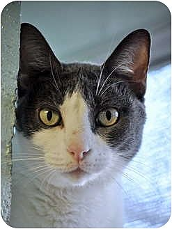 Domestic Shorthair Cat for adoption in Carencro, Louisiana - Tippi