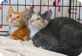 Domestic Shorthair Kitten for adoption in Merrifield, Virginia - Chester