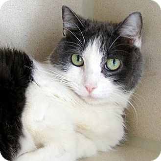 Domestic Shorthair Cat for adoption in Denver, Colorado - Elsie