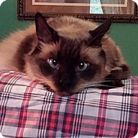 Adopt A Pet :: Bugatti - Columbus, OH
